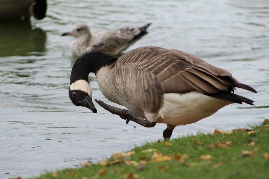 Goose checking landing gear
